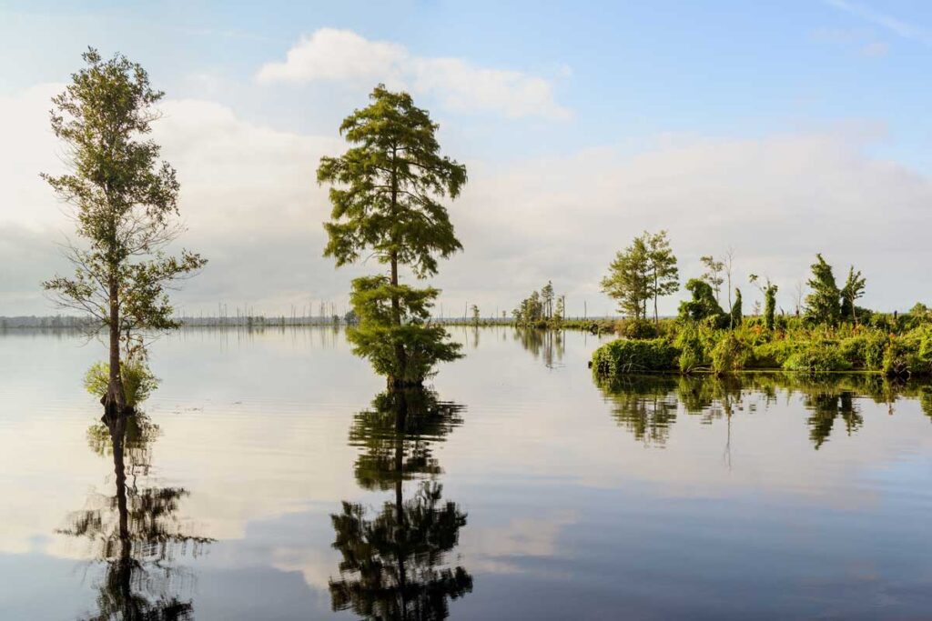 Two trees rise from the shimmering water of the North Carolina Swamps