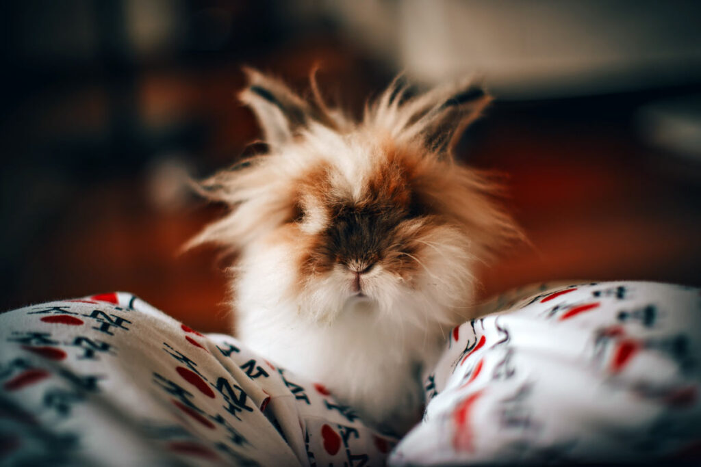 A fluffy rabbit sits on blankets