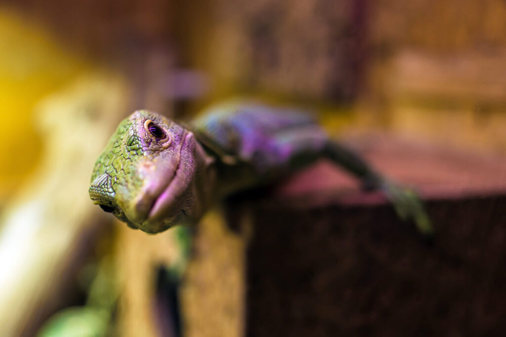 A gecko like ones featured in this best pet blog leans into the camera